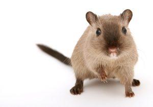 Lorsque les rats s'invitent chez vous c'est un vrai casse tête de s'en débarrasser sans faire appel à une entreprise de dératisation